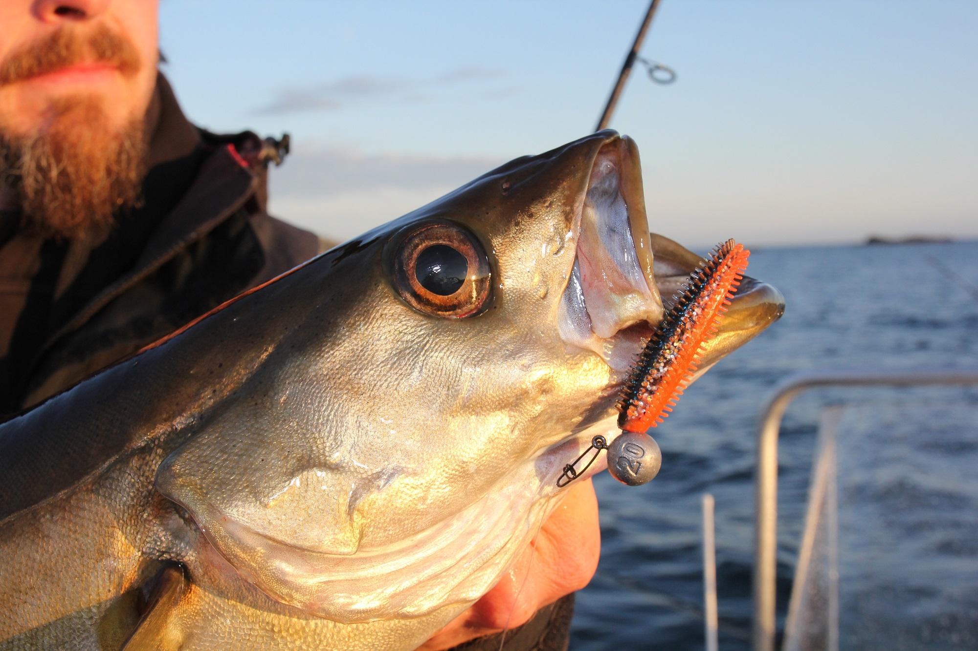 Topköder zum Fang von Pollacks sind Gummifische an Jigköpfen angeboten (Foto: Jesco Peschutter)