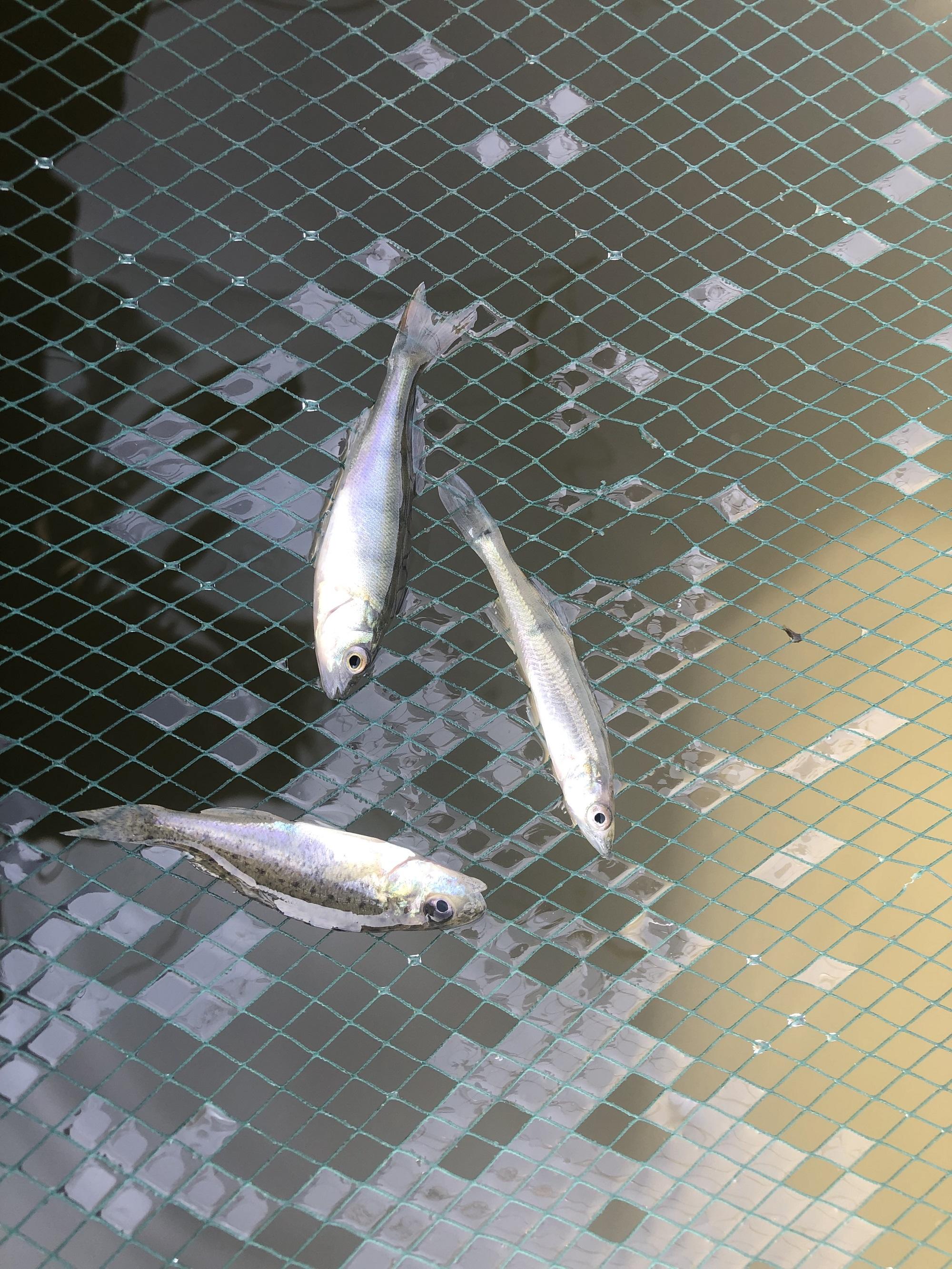 Kaulbarsche könnt Ihr mit einer Köderfischsenke fangen. Kaulbarsch (unten), Zander (rechts) und Barsch (oben) kommen in denselben Gewässern vor (Foto: Jesco Peschutter)