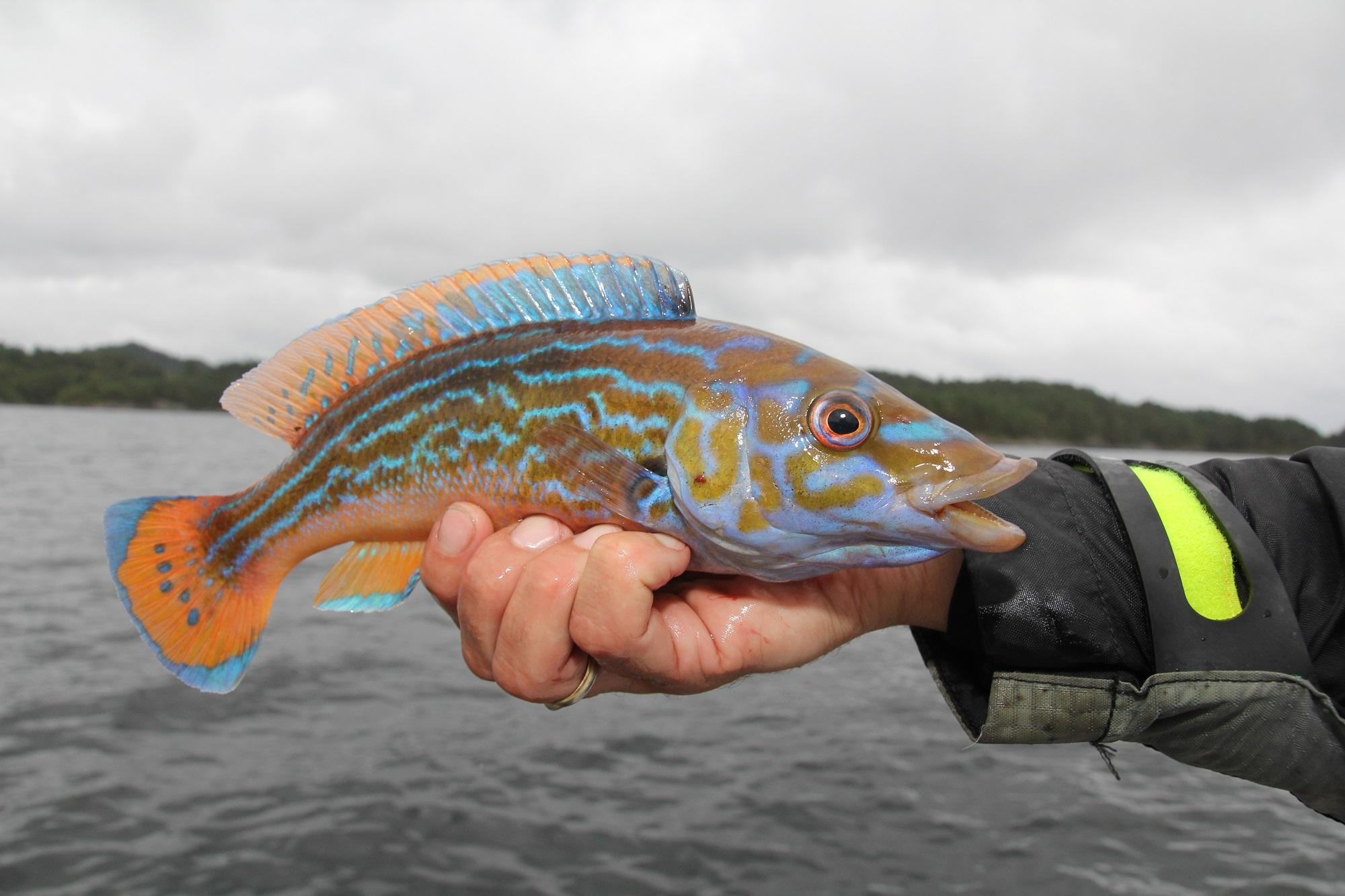 Lippfische sind nicht nur farbenfroh, sondern auch beeindruckende Fische. Hier ein Männchen vom Kuckuckslippfisch aus Norwegen