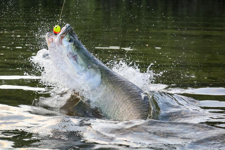 Läufer quer Riesenfisch.jpg