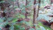 Wald aus Lebensbäumen (Thuja plicata).jpg
